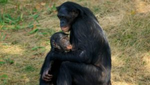 160512160841_breastfeeding_bonobo_640x360_alamy_nocredit